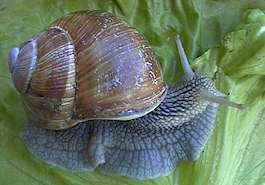 Burgundy snail (shell mesuring about 1 3/4 in)