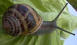 Petit-Gris snail or brown garden snail ( shell mesuring about 1 1/4 in)